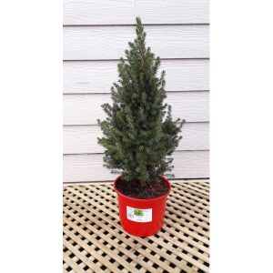 Picea Pot Grown Tree SMALL