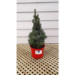 Picea Sanders Blue Pot Grown Tree MEDIUM