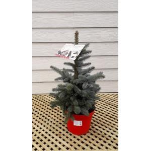 Picea Super Blue Pot Grown Tree MEDIUM