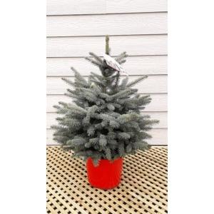 Picea Super Blue Pot Grown Tree LARGE