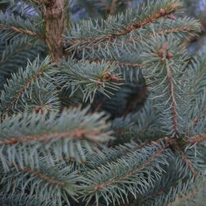 Blue Spruce Cut Tree LARGE