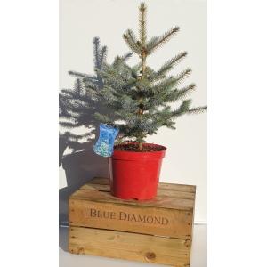 Picea Pungens Blue Diamond 10L