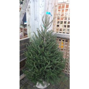 Norway Pot Grown Tree LARGE