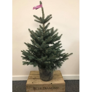 Blue Spruce Pot Grown Tree MEDIUM