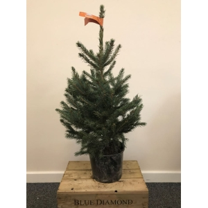 Blue Spruce Pot Grown Tree SMALL