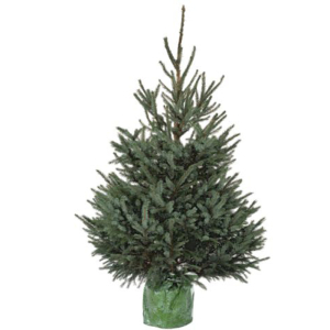 Blue Spruce Pot Grown Tree LARGE