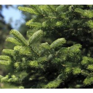 Nordman Pot Grown Tree LARGE