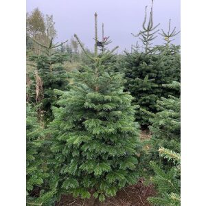 Nordman Cut Tree LARGE SLIMLINE