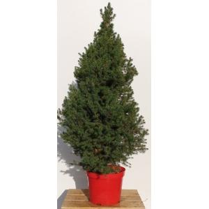 Picea Pot Grown Tree LARGE