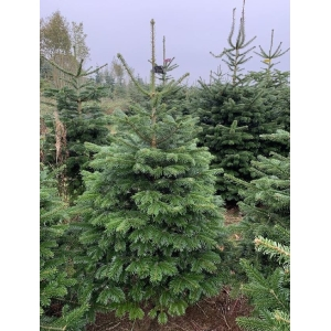 Nordman Cut Tree LARGE