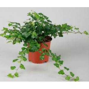 Hedera Helix Plain Green 13cm
