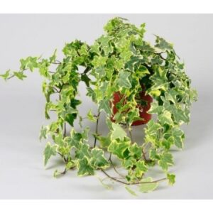 Hedera Helix Yellow Variegated 13cm