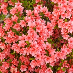 Azalea Evergreen Blaauws Pink 2L Pot