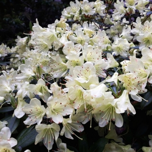 Azalea Evergreen Palestrina White 2L