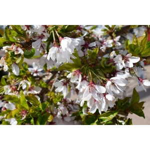 Prunus Snow Showers 12L