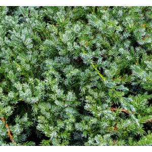 Juniperus Blue Carpet 3L