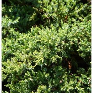 Juniperus Holger 3L