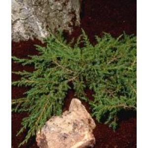 Juniperus Green Carpet 3L