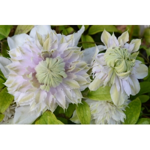 Clematis Moonglow 3L