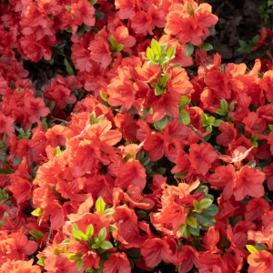 Azalea Evergreen Geisha Orange 2L