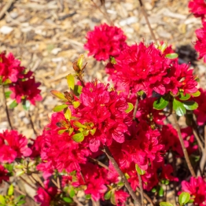 Azalea Evergreen Hino Crimson Red 2L