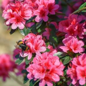 Azalea Evergreen Rosa King 4L Pot