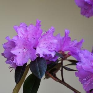 Rhododendron Dwarf Lilac PJM Regal 3L Pot