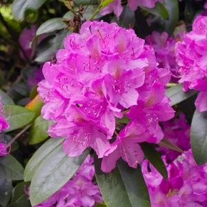 Rhododendron Roseum Elegans Lilac 7.5L Pot