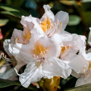 Rhododendron Cunninghams White 7.5L Pot