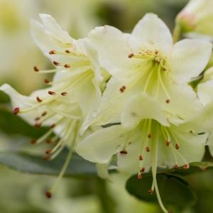 Rhododendron Dwarf Shamrock Yellow 3L Pot