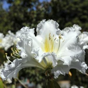 Rhododendron Madame Masson 7.5L Pot