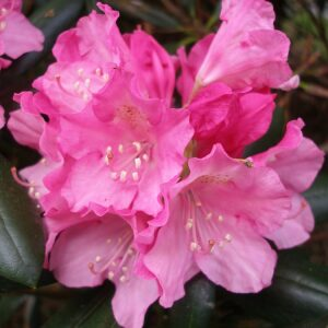 Rhododendron Kalinka Pink 3L Pot