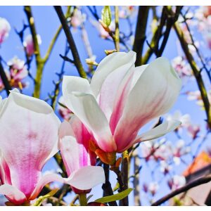Magnolia George Henry Kern 7.5L Pot