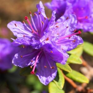 Rhododendron Dwarf Ramapo Purple 7.5L Pot