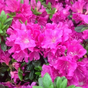 Azalea Evergreen Geisha Purple 2L Pot