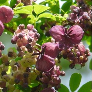 Chocolate Vine (Akebia quinata) 3L Pot
