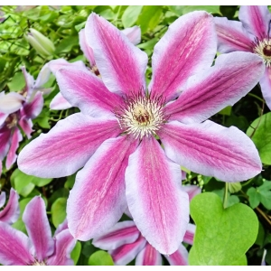 Clematis Carnaby 3L