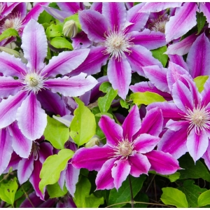 Clematis Dr Ruppel 3L