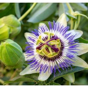 Passion Flower 3L