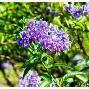 Solanum Crispum Glasnevin 3L Pot