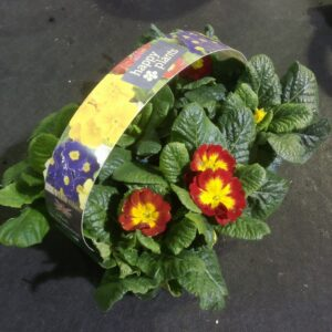 Primrose Carry pack with 6 plants