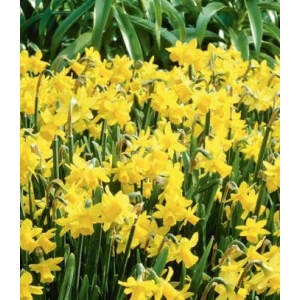 Narcissus Tete A Tete Carry Pack with 6 plants