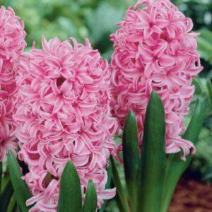 Hyacinth Pink 1L pot
