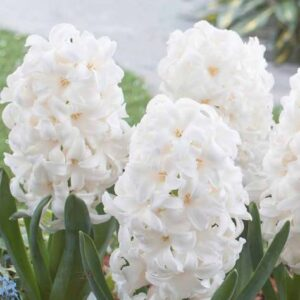 Hyacinth White 1L pot
