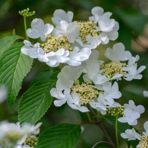 Viburnum Plicatum Lanarth 10L