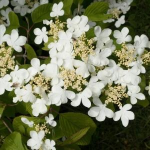 Viburnum Plicatum Mariesii 7.5L Pot