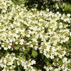 Viburnum Plicatum Shasta 3L Pot