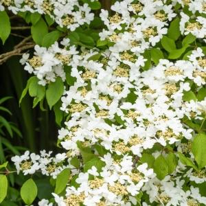 Viburnum Plicatum Summer Snowflake 3L Pot
