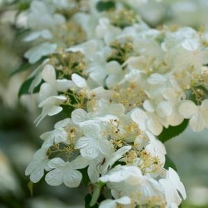 Viburnum Plicatum Watanabe 3L Pot