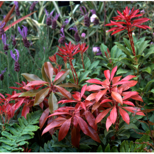 Pieris Mountain Fire 2L Pot